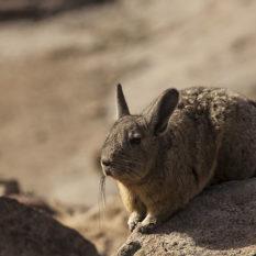 Wer sonnt sich denn da - ein Hase? Nein, ein Viscacha!Foto:©Lichtbildarena