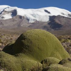 Heimisch in den Anden - YaretaFoto:©Lichtbildarena