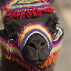 Handzahm ist dieses AlpakaFoto:©Lichtbildarena